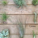 Amazing Air Plants Decor Ideas 02