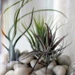 Amazing Air Plants Decor Ideas 24
